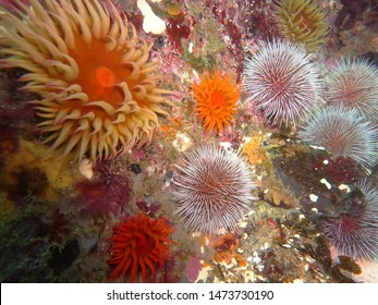 Colorful sea urchins on rocks in the ocean. Echinoderms macro. Marine life in coastal ecosystem during scuba diving adventure. Ecotourism, exploring with marine biologist underwater. Model organism.