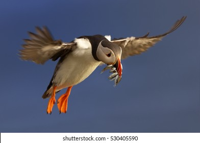 Colorful seabird, Fratercula arctica, Atlantic puffin with small sandeels in its beak flying  against dark blue ocean.  Close up photo. Wild Atlantic Puffin with fish and outstretched wings.