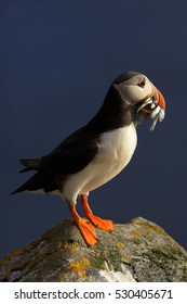 Colorful seabird, Fratercula arctica, Atlantic puffin with small sandeels in its beak on rock against deep blue ocean.  Vertical portrait, close up photo. Wild Atlantic Puffin with fish. Norway.