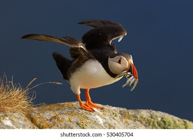 Colorful seabird, Fratercula arctica, Atlantic puffin with small sandeels in its beak landing on rock against dark blue ocean.  Close up photo. Wild Atlantic Puffin with fish and outstretched wings.