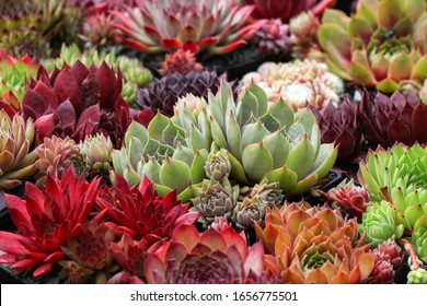 Colorful Sempervivum - houseleek plants sitting in ther natural Environment in a rockery garden