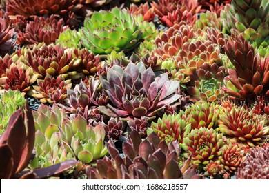 Colorful sempervivum - houseleek varieties sitting close together in the perennial alpine rock garden