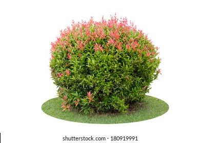 Colorful shrub of short Pigeon Berry tree isolated over white background