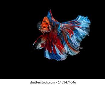 Colorful Siamese fighting fish, betta, moving