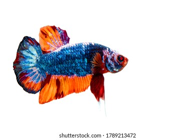 "Colorful Siamese Fighting fish ""Fancy Halfmoon Betta"",The moving moment beautiful of betta fish in Thailand. Betta splendens Pla-kad (biting fish), isolated on white background."