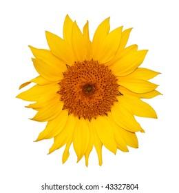Colorful single sunflower isolated on white background.