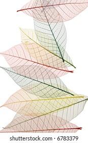 Colorful Skeleton Leaves on white background