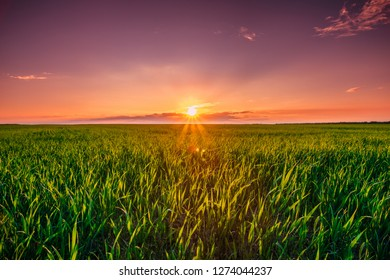 Colorful Sky In Sunset Dawn Sunrise Above Rural Landscape Of Green Wheat Field. Scenic Spring Meadow Landscape