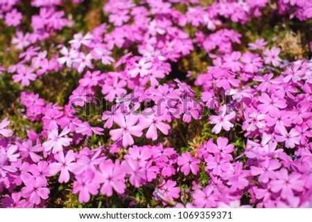 Colorful small pink flowers pink moss stock photo edit now colorful small pink flowers or pink moss on the ground look like the natural carpet mightylinksfo