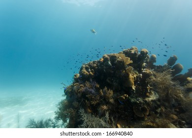 Colorful small tropical fish swim close to coral outcroppings on reef in Caribbean Sea