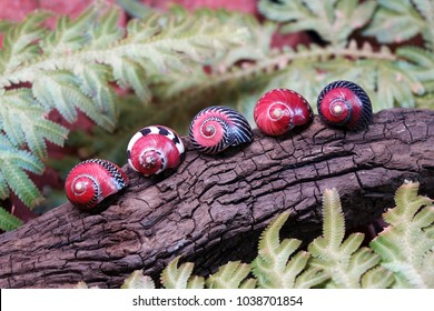 Colorful snail : Neritina (Vittina) communis , beautiful shells in nature background. (Selective focus)
