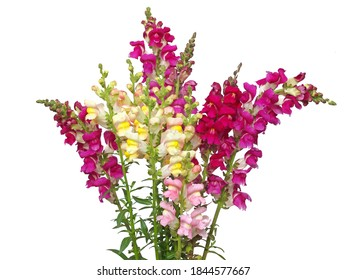 Colorful snapdragon flower bouquet isolated on white