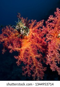 Colorful Soft Coral (Dendronephtyhya hemprichi) Taking in Red Sea, Egypt