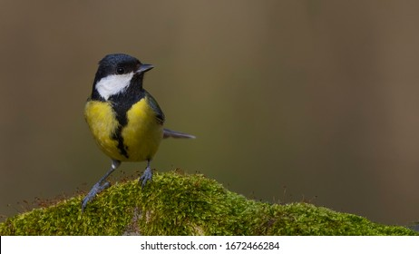 Colorful songbird great tit standing on a mossy rock