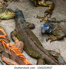 Colorful South American Iguanas rests on the rock