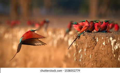 Colorful Southern Carmine bee-eater, Merops nubicoides, colony of red and blue winged african birds on the bank of Zambezi river. Bird photography in ManaPools, Zimbabwe.