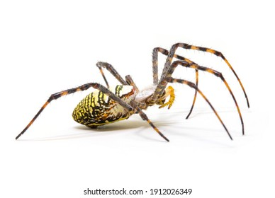 Colorful spider on white background, close up photo. Yellow black spider on white background. Tropical insect crab spider closeup photo. Exotic spider detailed macrophoto. Striped insect. Creepy bug.