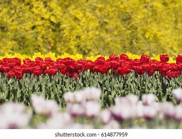 Colorful Spring Awakening with tulip