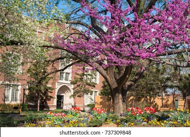 Colorful spring flowers and blossom of tulips, redbuds and plums at the University of Oklahoma Campus
