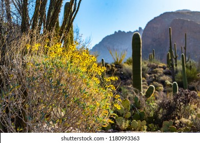 Colorful spring morning in the Sonoran desert, yellow brittle bush flowers blooming, saguaro cacti, prickly pear, cholla cactus and ocotillo on a ridge, rocky walls of Pima canyon in the background.