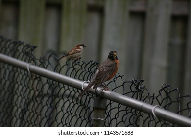 Colorful Spring Robin Sitting on Fence
