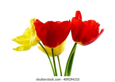 colorful spring tulip flower on pure white background