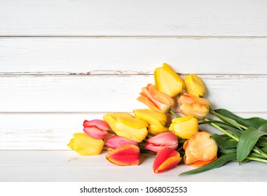 Colorful Spring Tulip Flowers in Yellow, Red, Orange Colors in a Bunch laying on white shiplap boards with room or space above for copy, text, your words or design.  A horizontal with a side view