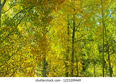 Colorful stand of backlighted aspen trees in autumn in Grand Teton National Park.
