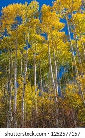 A colorful stand of golden Apsen trees off East Dallas Road in the Uncompaghre National Forest near Ridgeway, Colorado.
