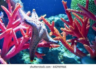 Colorful Starfish at Sea Life Bangkok Ocean World