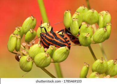Colorful Striped bug (Graphosoma italicum) The red and black striped insect is also known as the Striped bug (or Italian striped bug) and Minstrel bug