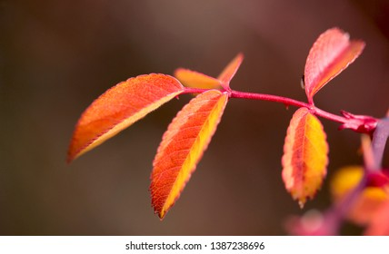 colorful sumac leaves in autumn