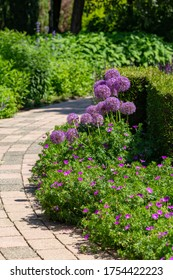 Colorful summer garden design with purple and blue blooiming plants like alium flowers and garden pathway
