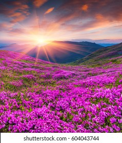 Colorful summer sunrise with fields of blooming rhododendron flowers. Amazing outdoors scene in the Carpathian mountains, Ukraine, Europe. Beauty of nature concept background.