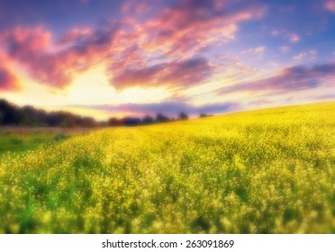 Colorful summer sunset in the field of blossom colza flowers. Soft blured filter.
