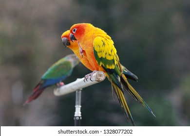 Colorful Sun Conure bird