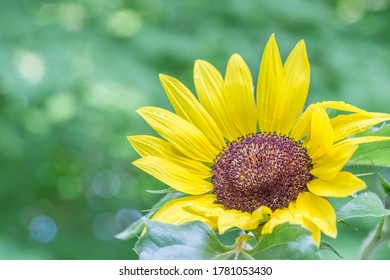 Colorful sunflower in full bloom with copy space.