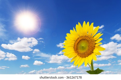 Colorful sunflowers facing the sun in the blue sky with beautiful clouds.