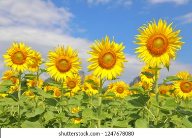 Colorful sunflowers in the field.