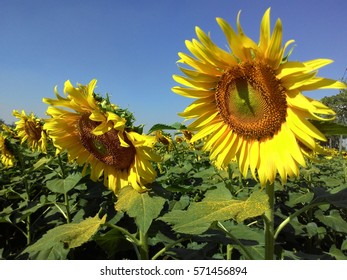 colorful sunflowers  in field and blue sky, happy holiday, yellow flower background, nice landscape