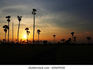 Colorful of sunset among the sugar palm trees.