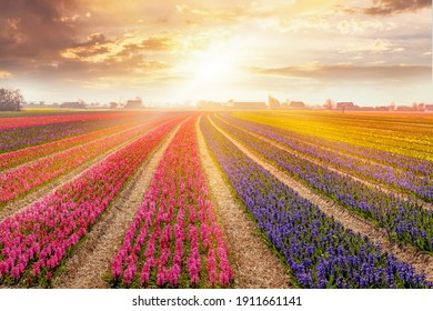Colorful sunset in Netherlands, Europe with field of blooming hyacinth flowers in Holland