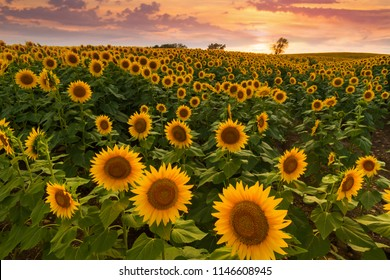 Colorful sunset over a sunflower field in the Midwest