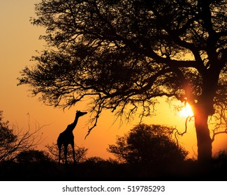 Colorful sunset silhouette of giraffe eating from tree in South Africa