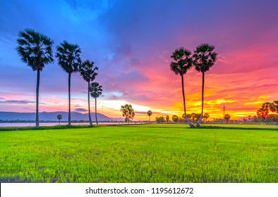 Colorful sunset sugar palms on the rice field. Farmers have to combine two plants in agriculture as inter cropping and create forms of art from agriculture.