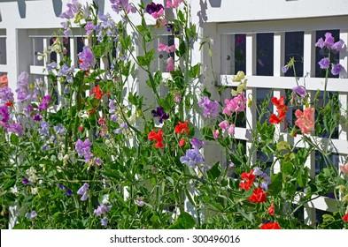Colorful sweet pea flowers growing on trellis