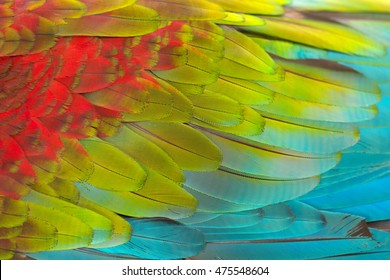 Colorful texture of Scarlet Macaw feathers.