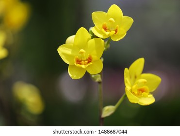 Colorful Thai orchid botanical garden. Closeup yellow orchid flowers with natural background.