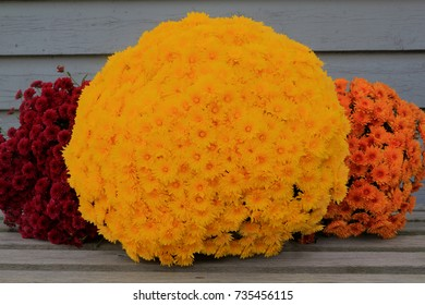 Colorful Thanksgiving bucket from different colors fall (Autumn) Mums (Flowers) very suitable for decoration when celebrating harvest, Thanksgiving or fall