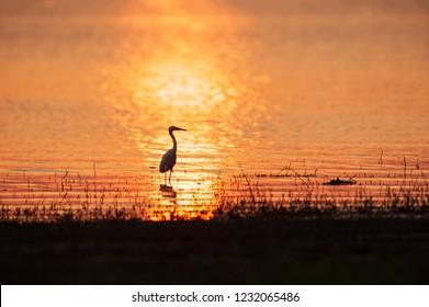 Colorful time, Great Egret standing in the lake in reflecting of sunset light. Beautiful glittering water backgrounds. Golden sparkling on the lake. Warm tone. Silhouette. Rural of Thailand. Summer.